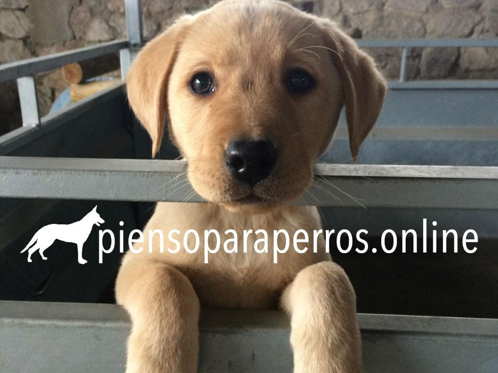 img_piensoparaperros_labrador
